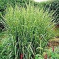 Variante Schilf von Garten Schlüter bei Du und dein Garten