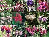 Trailing Fuchsia Mixed Collection 10 plug plants