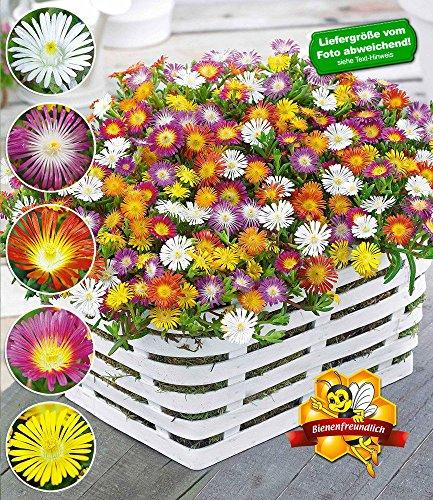 """BALDUR-Garten Winterharte Eisblumen""""Wheels of Wonder"""" Farbmix 5 Pflanzen, Delosperma congesta"""