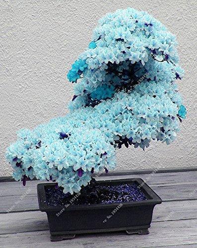 10 PCS ciel rare graines de sakura bleu bonsaï fleurs graines d'arbres de fleur plantes Bonsai Cherry Blossoms graines de cerisier pour la maison et le jardin