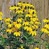 Kölle Fallschirm-Sonnenhut 'Herbstsonne' - Rudbeckia nitida 'Herbstsonne' - zitronengelb blühende Bienenstaude im 11 cm Topf - frisch aus der Gärtnerei - Pflanzen Gartencenter