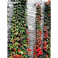 La mezcla de Boston Semillas 100% verdad Parthenocissus tricuspidata de semillas plantas al aire libre casi no Cuidado planta trepadora decorativo 100 PC