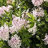 Dominik Blumen und Pflanzen, Bloombux, Rosa