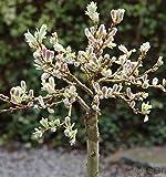 Hochstamm Schweizer Kätzchenweide 60-80cm - Salix helvetica