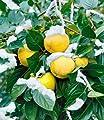 BALDUR-Garten Winterharte Kaki, Sharon-Frucht 1 Pflanze Diospyros kaki von Baldur-Garten - Du und dein Garten