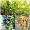 2er Set Weinrebe: Glenora, New York Muscat, gelb und blau, pilzfest, süß im kleinen Topf von Grüner Garten Shop bei Du und dein Garten