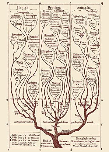 World of Art Vintage Anatomie Allgemeine Morphologie der Organismen. Baum des Lebens C1866von Ernst Haekel 250GSM, Hochglanz, A3, vervielfältigtes Poster
