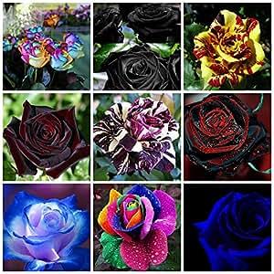 180 Semi DI ROSA in 9 Varietà RARE e RICCHE di COLORI:20 ROSA ARCOBALENO,20 ROSA NERA,20 ROSA SIMSALABIM,20 ROSA BLACK BACCARA', 20 ROSA BLACK DRAGON,20 ROSA RED PURPLE,20 ROSA DOUBLE BLUE ROSES,20 ROSA RAINBOW ,20 ROSA BLU