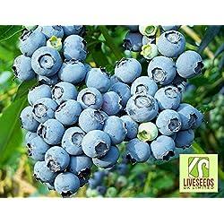 Liveseeds - Northern Highbush BLUEBERRY Samen, Vaccinium Corymbosum Obst Beeren Samen (10 Samen)