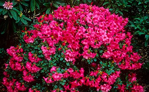 9cm-pot-dwarf-rhododendron-whispering-rose-carnation-rose-flowers-garden-shrub