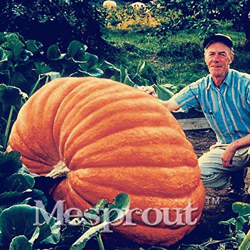 20Pcs Super großer Kürbis-Samen Gemüse NON-GMO Essbare DIY Garten zu Hause Bonsai Riesenkürbiskern Geschenk für Halloween-Spaß - Essbar Halloween-kürbisse