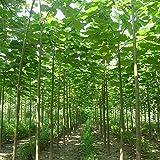 500 graines graines de paulownia nouvelles plantes de balcon d'arbres forestiers pour le jardin de la maison, arbre à croissance rapide
