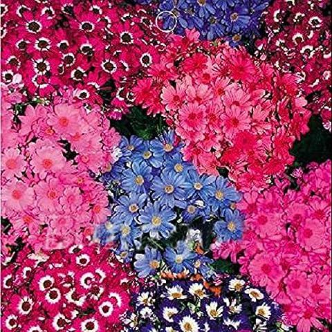 Paleo 30 Senecio cruentus floristas crunyus perennes plantas de semillas de flores