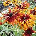 lichtnelke - Rauher Sonnenhut (Rudbeckia hirta) ' CHEROKEE SUNSET ' von Lichtnelke Pflanzenversand - Du und dein Garten