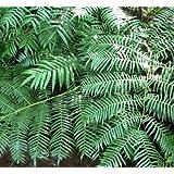 Ptisana fraxina var. salicifolia - - 10 semillas