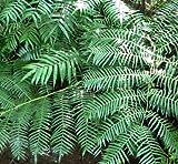 Ptisana fraxina var. salicifolia - Caudex Farn - 10 Samen