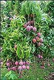 Azalea Gardens Rare Exotic Tropical Fruit Dwarf Thailand Red Mango Plant