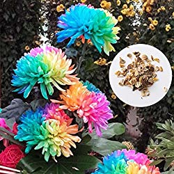 hongfei Regenbogen Samen, Einfach Wachsen Bunte Miniatur Baum Chrysantheme Blume Pflanzen Samen Garten Topf Haus Bonsai Büro Pflanzen Decor 200 samen für Sommer