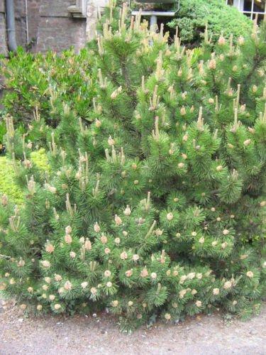 Galleria fotografica Pinus mugo mughus pino mugo TREE semi!