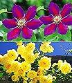 BALDUR-Garten Set Klematis & Rose: Clematis 'Etoile de Malicorne'& Kletterrose 'Dune', 2 Pflanzen von Baldur-Garten - Du und dein Garten