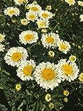 Großblumige Garten-Margerite Real Neat Staude gelb blühend Solitär-Staude winterhart Leucanthemum x superbum im 3 Liter Topf 1 Pflanze