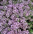 Staudenkulturen Wauschkuhn Thymus doerfleri 'Bressingham Pink' - Thymian - Staude im 9cm Topf von Staudenkulturen Wauschkuhn bei Du und dein Garten