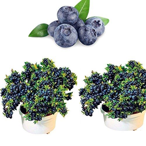 Blueberry Seeds 100 Teile / paket Obst Samen Indoor Outdoor Hausgarten Pflanzen Bonsai Essbar