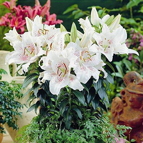 Shop Meeko Lilium orientalische Muscadet - 12 Blumensamen