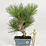 PINO NEGRO BONSAI h.45 - Pinus thumbergii