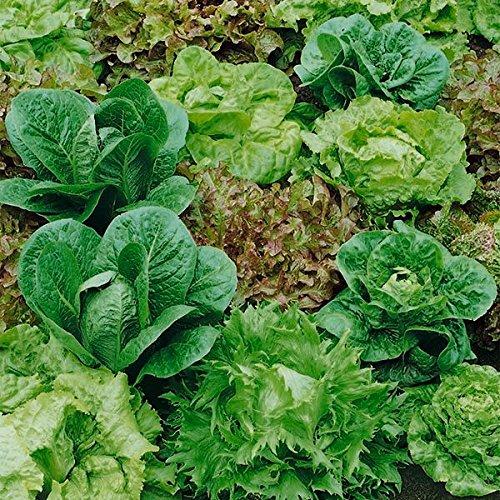 Gemüse Salat gemischt Baby Blatt Salat 1000 Samen Wirtschaft Pack