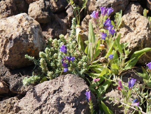 Preisvergleich Produktbild Lais Puzzle Blume Steinwüste Fuerteventura 500 Teile