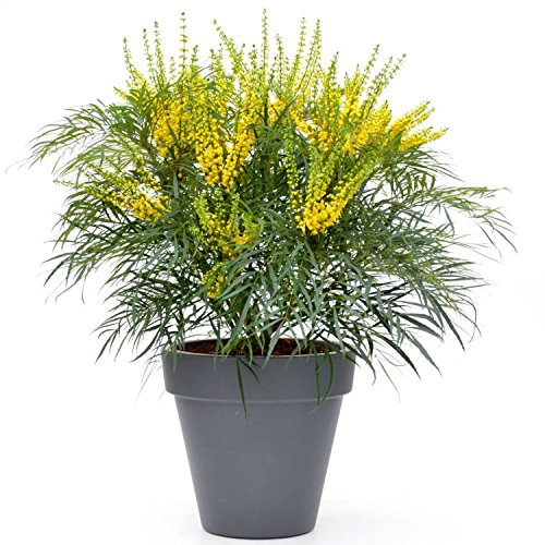 mahonia-soft-caress-new-evergreen-mahonia-shrub-large-specimen-sized-plant