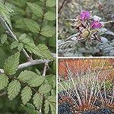 Rubus thibetanus 'Silver Fern' - Ronce ornementale du Tibet argentée