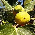 100 Samen gelbe türkische Feige, Sorte Aydin Incir, Ficus carica, sehr süss von rareseeds auf Du und dein Garten