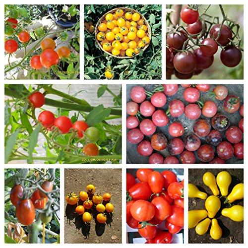 Historische Ungarische Cherry Tomaten im Set: 10 bestimmte Sorten 100 Samen von unserer ungarischen Farm im samenfest, nur natürliche Dünger, KEINE Pesztizide: ECHT NUR VON mediterranesamenUngarn