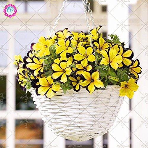 100pcs Bonsai Petunia Graines Morning Glory Seeds Court Taille Jardin Fleurs vivaces Graines d'intérieur ou Ourdoor Jardin des plantes en pot