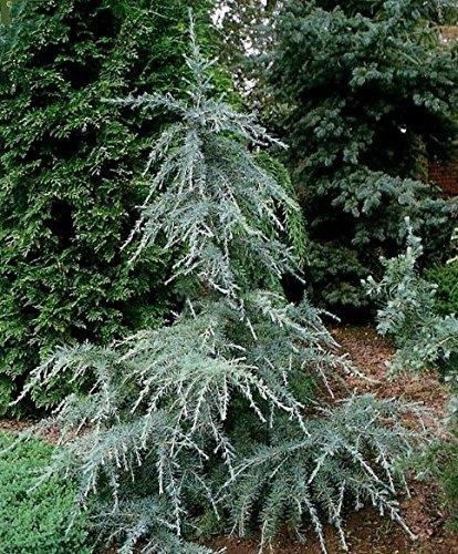Himalaja Zeder Cedrus deodara Nadelbaum – verschiedene Größen