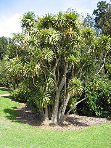 Keulenlilie -Cordyline australis- 10 Samen -Bedingt Winterhart-