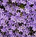 lichtnelke - Mauer-Glockenblume (Campanula portenschlagiana) von Lichtnelke Pflanzenversand bei Du und dein Garten