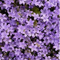 lichtnelke - Mauer-Glockenblume (Campanula portenschlagiana)