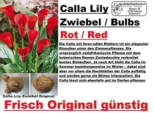5x-calla-lilien-zwiebel-knolle-original-garten-blume-pflanze-neu-frisch-rot-r21