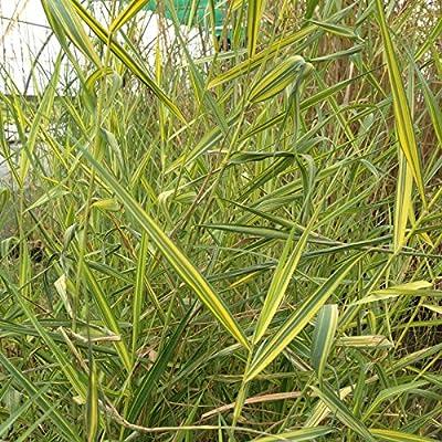 lichtnelke - Buntblättriges Schilf Schilfrohr (Phragmites australis) Variegatus von Lichtnelke Pflanzenversand bei Du und dein Garten