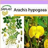 SAFLAX - Cacahuete - 8 semillas - Arachis hypogaea