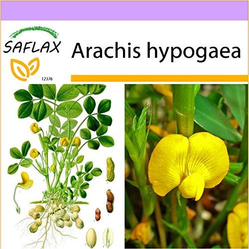 SAFLAX - Arachide - 8 semi - Arachis hypogaea