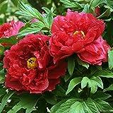 Oce180anYLV 10 pz estate fioritura peonia fiore semi piante perenni Casa Giardino decor-semi di peonia rossa