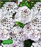 BALDUR-Garten Winterharter Bodendecker Iberis Schleifenblume 'Masterpiece', 3 Pflanzen