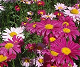 Piretro Daisy pianta perenne colori misti Fiore 500 semi