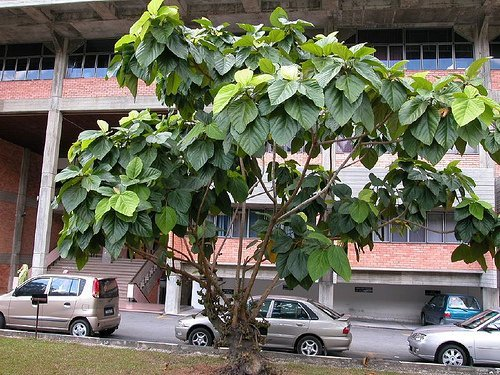 Elephant Ear Fig Tree 10 Seeds - Ficus auriculata by Hirt's Gardens - Ficus Tree Leaves