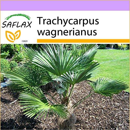 SAFLAX - Palmier miniature de Chusan - 4 graines - Trachycarpus wagnerianus