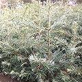 5 Stück Grautanne Silbertanne Coloradotanne Koloradotanne - Abies concolor 15-25 cm, 4 jährig Wurzelware von Gartengruen24 auf Du und dein Garten